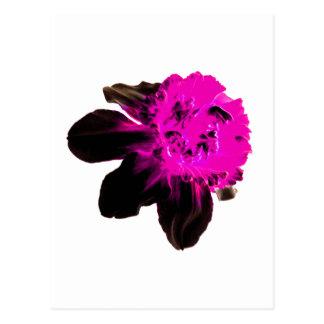Pink and Black Ruffled Daffodil Postcard
