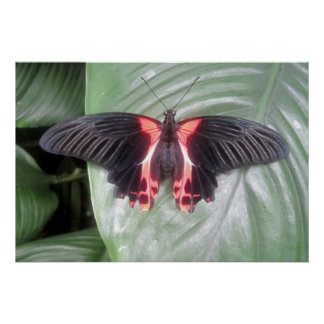 Pink and Black Tropical Butterfly Poster