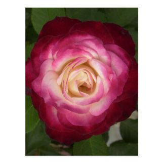Pink and Cream Rose Postcard
