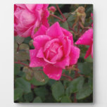 pink and fading Zaz.JPG Photo Plaque