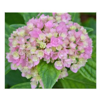 Pink and Green Hydrangea Photo Print
