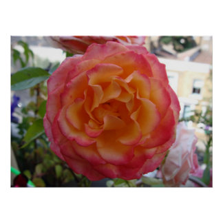 Pink and Peach Peony Rose Poster