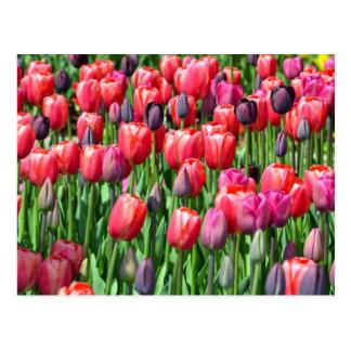 Pink and purple tulip garden print postcard