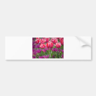 Pink and Purple Tulips Bumper Sticker
