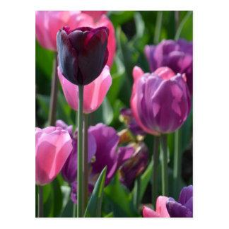 Pink and Purple Tulips Postcard