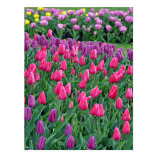 Pink and purple tulips spring garden postcard