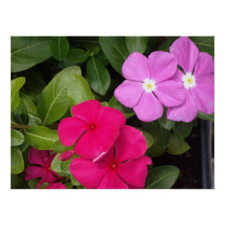 Pink and Purple Vincas Poster