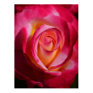 Pink and Red Rose with Yellow Highlights Postcard