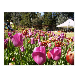 Pink and reddish brown tulips postcard