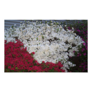 Pink and white azaleas photo print