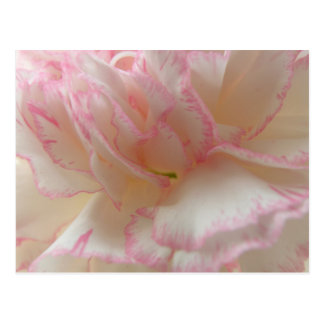 Pink and White Carnation Postcard