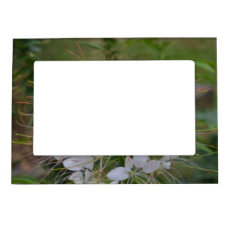 Pink and White Cleome Flowers Picture Frame Magnets