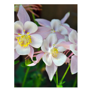 Pink and white columbine flowers postcard