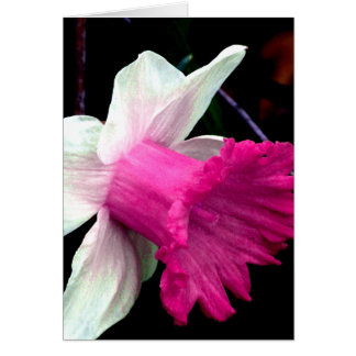 Pink and White Daffodil
