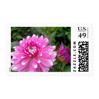 Pink And White Dahlia Postage