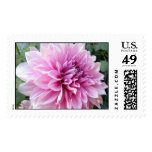 Pink and White Dahlia Postage Stamp