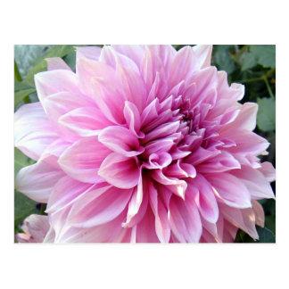 Pink and White Dahlia Postcard