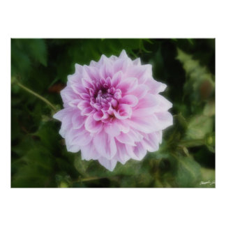 Pink and White Dahlia Poster