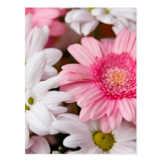Pink and White Gerbera Daisies Postcard