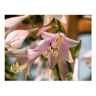 Pink and White Hosta Flowers in Bloom Photograph Postcard
