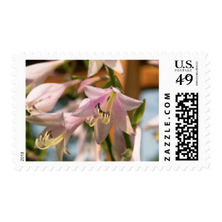 Pink and White Hosta Flowers in Bloom Postage