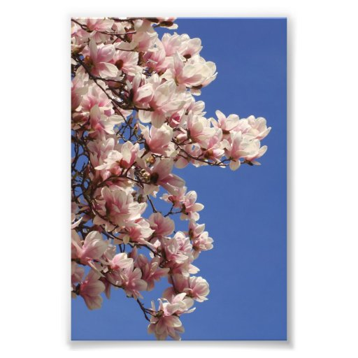 Pink and White Magnolia Photograph