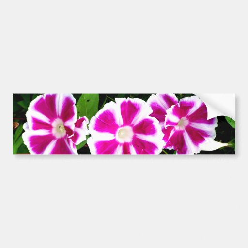 Pink and White Morning Glory Flowers Bumper Stickers