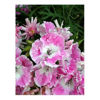 Pink and white pelargonium flowers postcard