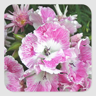 Pink and white pelargonium flowers square sticker