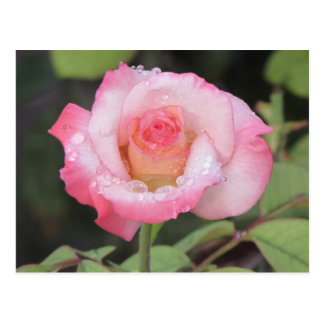 Pink and White Rose After the Rain Postcard