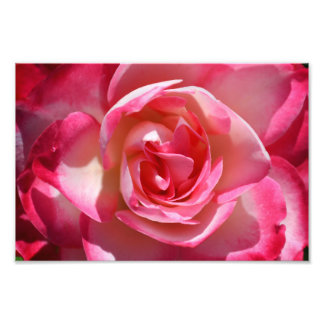 Pink and White Rose Photo Print