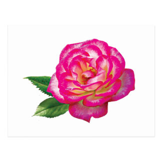 Pink and White Rose Postcard