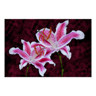 Pink and White Stargazer Lily Close Up Photograph Poster