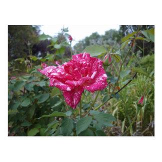 Pink_And_White_Striped_Rose, _ Tarjetas Postales