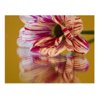 Pink and White Stripey Gerbera Flower Postcard
