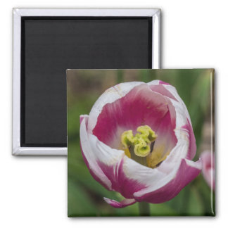 Pink and White Tulip Flower Magnet