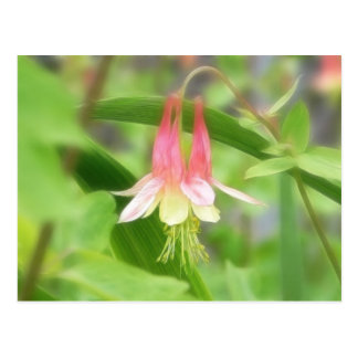 Pink And Yellow Columbine Postcard