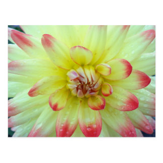 Pink and Yellow Dahlia's Postcard