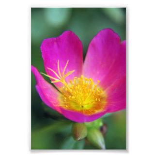 Pink and Yellow Flower Photo Print