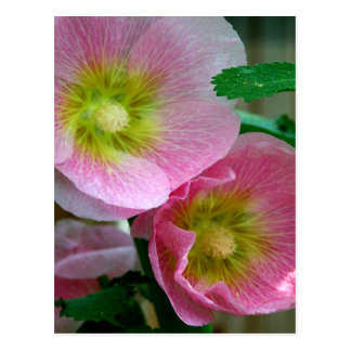 Pink and Yellow Hollyhocks Postcard