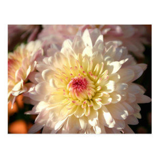 Pink and Yellow Mums Post Card