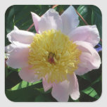 Pink and Yellow Peonies Beautiful Floral Garden Square Sticker