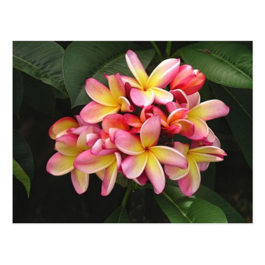 Pink and Yellow Plumeria Flowers Postcard