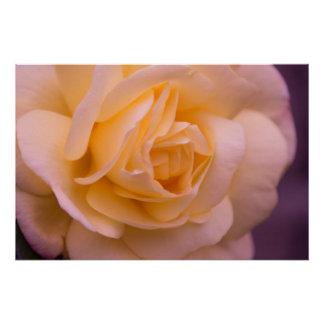 Pink And Yellow Rose Closeup Poster