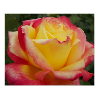 Pink and Yellow Rose Floral Photo Poster