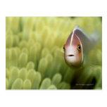 Pink Anemone Fish Postcards