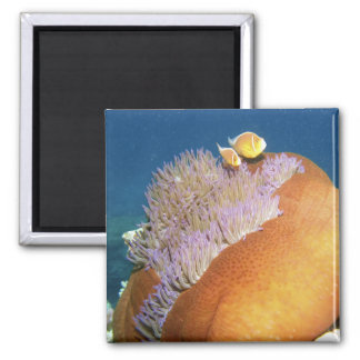 Pink Anemonefish Amphiprion perideraion ) in 2 Inch Square Magnet