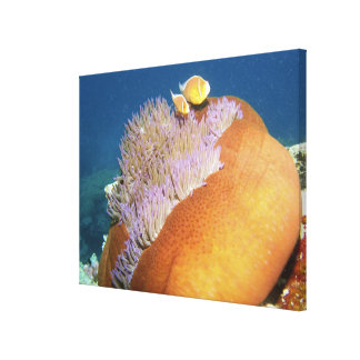 Pink Anemonefish Amphiprion perideraion ) in Canvas Print