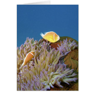 Pink Anemonefish ( Amphiprion perideraion ) in Card