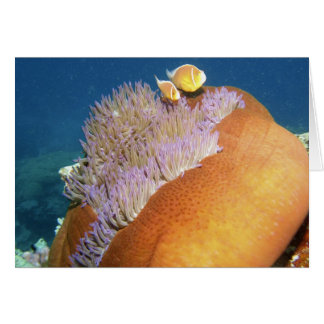 Pink Anemonefish Amphiprion perideraion ) in Greeting Cards